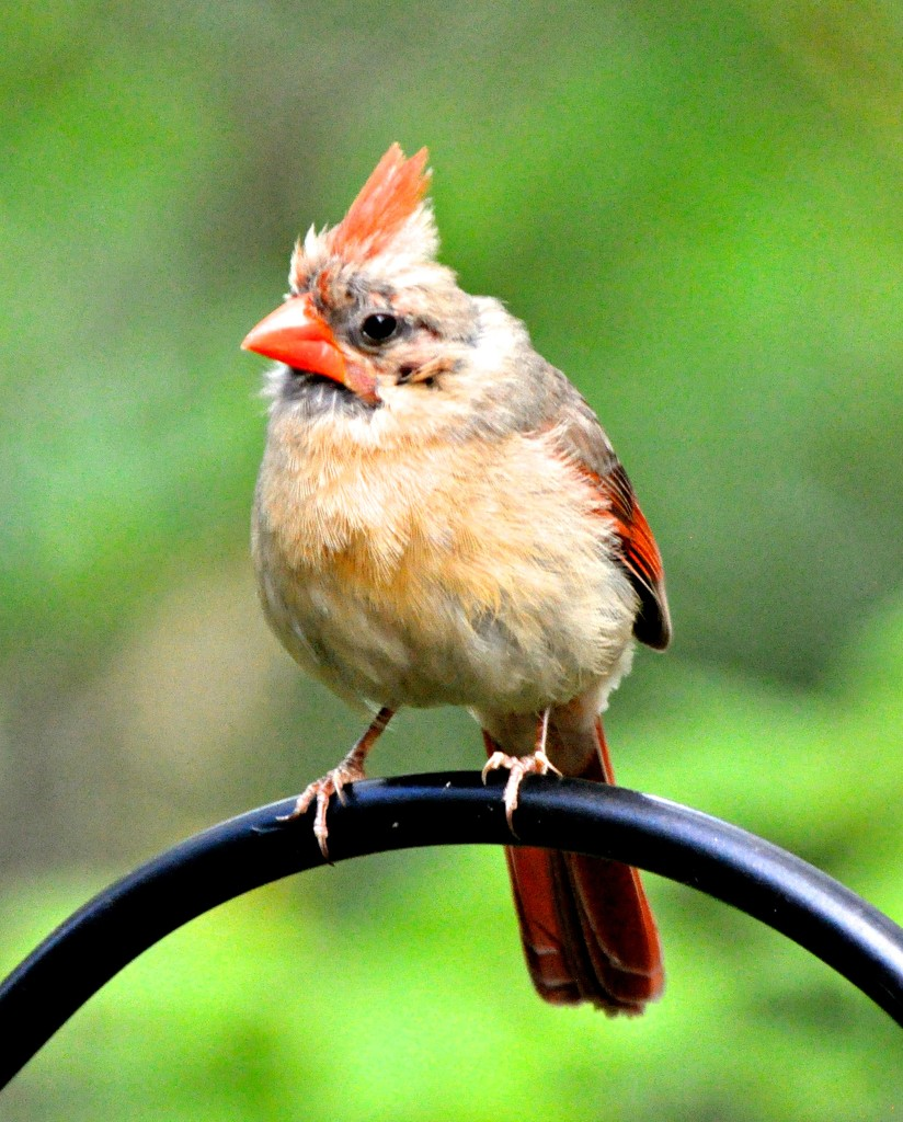 Female baby cardinal by sailingmusic