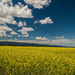 Canola and Clouds by 365karly1
