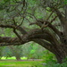 Live oak by congaree