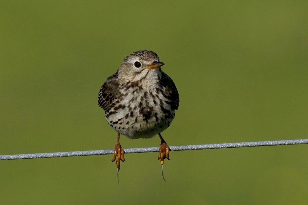 MEADOW PIPIT by markp