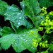 Lady's mantle:Alchemilla   ... by snowy