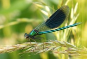 27th Jun 2017 - In the Fields: the damsel rests