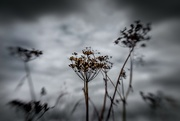 28th Jun 2017 - Withered Cow Parsley - Lensbaby Style...