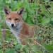 Fox cub is growing by padlock