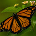 Monarch Butterfly!!! by rickster549