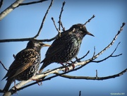 29th Jun 2017 - two Starlings