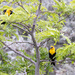 yellow headed blackbirds by aecasey