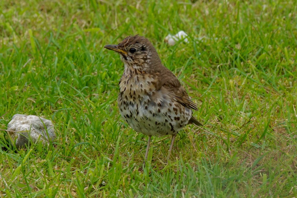 SONG THRUSH  by markp