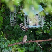 22nd Jun 2017 - Greater spotted woodpecker
