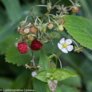 20th Jun 2017 - Wild strawberries