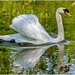 Swan In A Hurry by carolmw