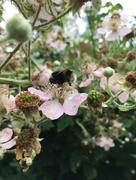 30th Jun 2017 - Busy bee