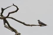 30th Jun 2017 - Cuckoo Cuckoo