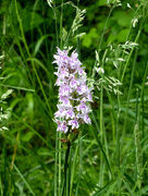 30th Jun 2017 - Early-purple Orchid ...