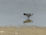 30th Jun 2017 - A Lapwing