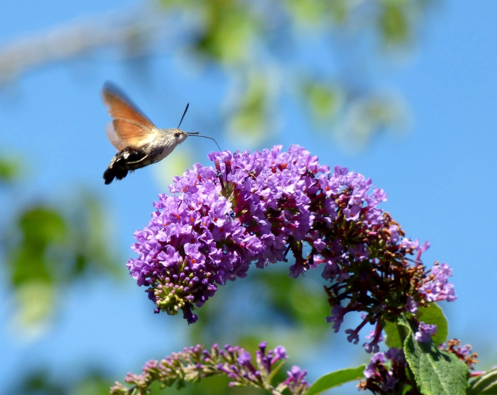 Humming-bird Hawk-moth by julienne1
