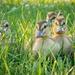 Baby ducks one week old