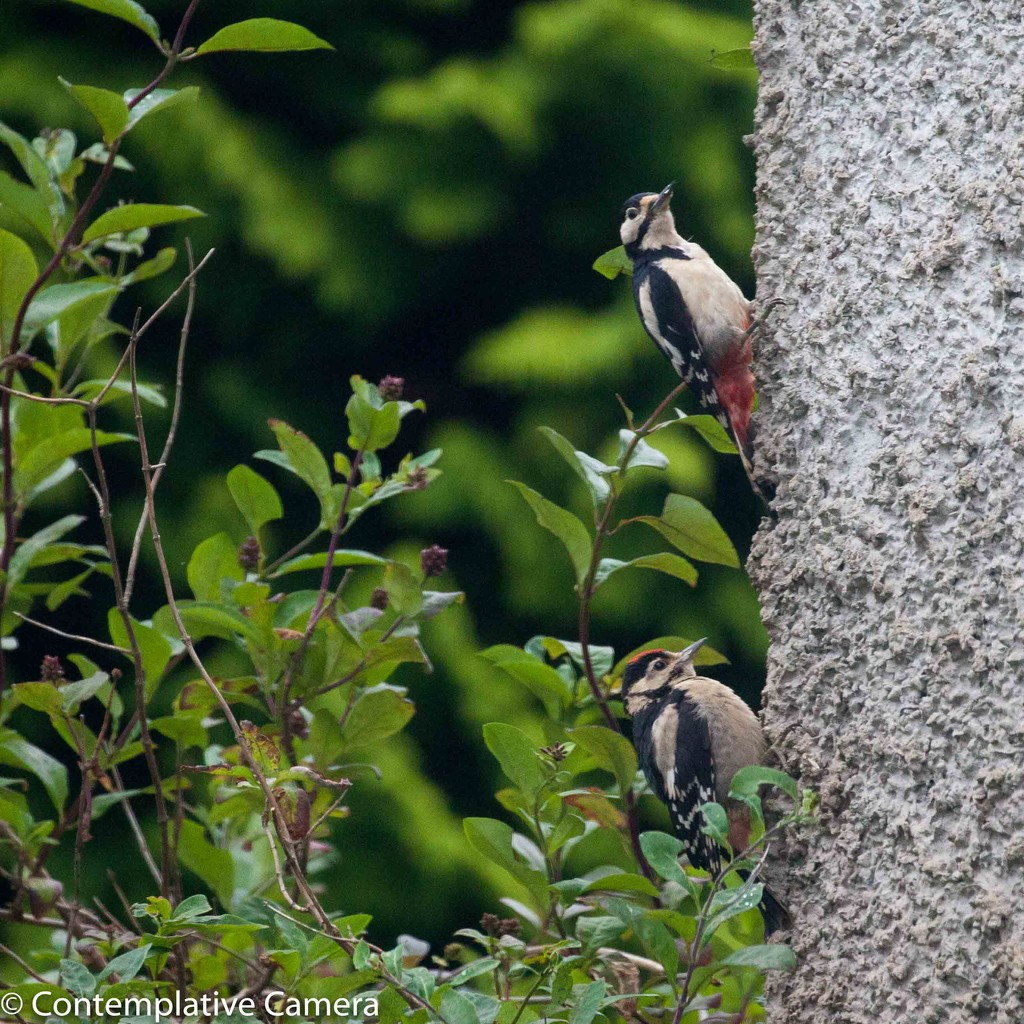 Greater spotted Woodpecker - parent and fledgling by dailydelight