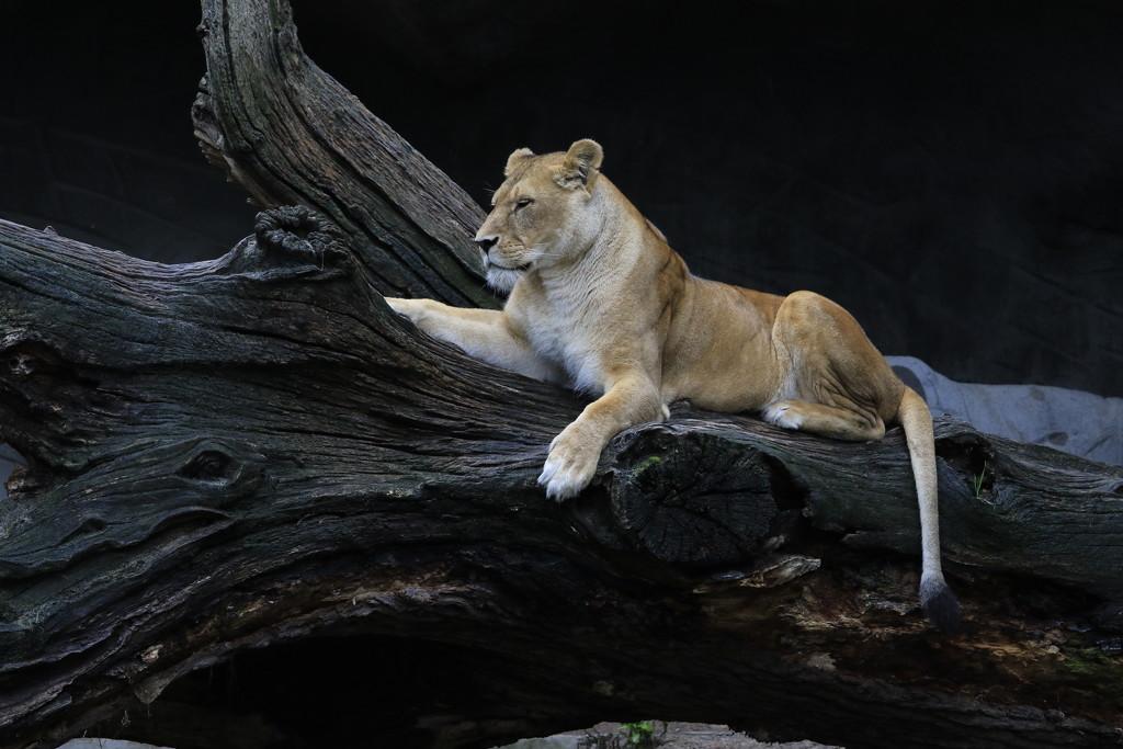 Hagenbecks Tierpark Lion by leonbuys83