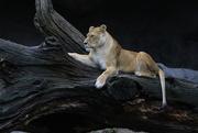 1st Jul 2017 - Hagenbecks Tierpark Lion