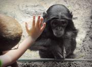 2nd Jul 2017 - Don't Leave Me Hanging Baby Bonobo!