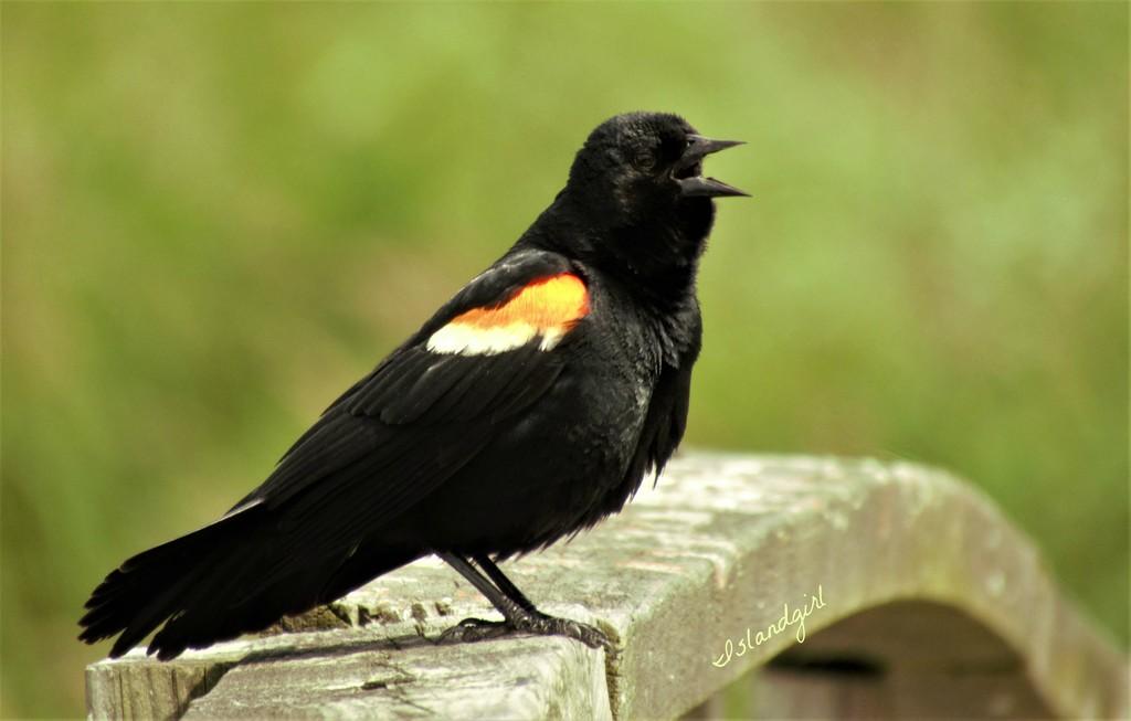 Red-wing Blackbird  by radiogirl