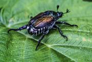 30th Jun 2017 - Japanese Beetle