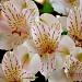 Peruvian Lilies by stownsend