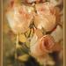 Antique Rose... by julzmaioro
