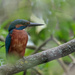 Kingfisher-male, hiding by padlock