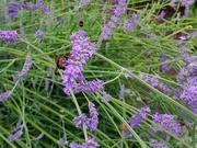 1st Jul 2017 - Bee on lavender
