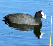 4th Jul 2017 - A Red knobbed Coot doing his rounds.