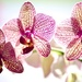 Thank you Orchids by kwind