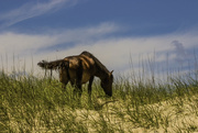 9th Jun 2017 - Wild Horse of the Outer Banks