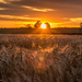 Barley Sunset  by rjb71
