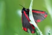 3rd Jul 2017 - Cinnabar Moth
