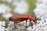 4th Jul 2017 - Tiny Beetle