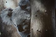 3rd Jul 2017 - Koala