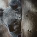 Koala by annied