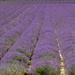 Lavender 2017 by peadar