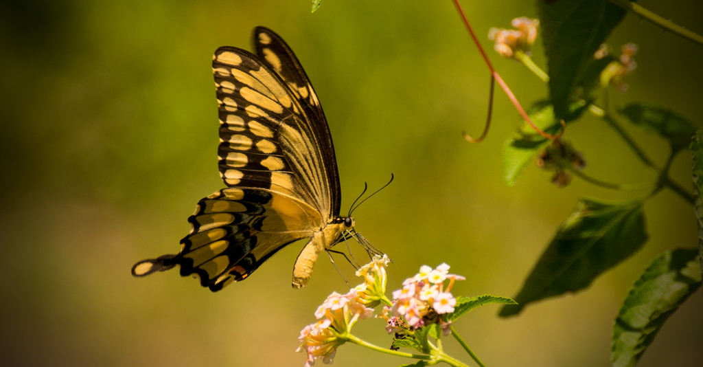 Giant Swallowtail Sipping the Nectar! by rickster549
