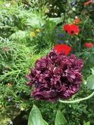 5th Jul 2017 - Black poppy