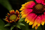 5th Jul 2017 - Blanket Flower in the Rain