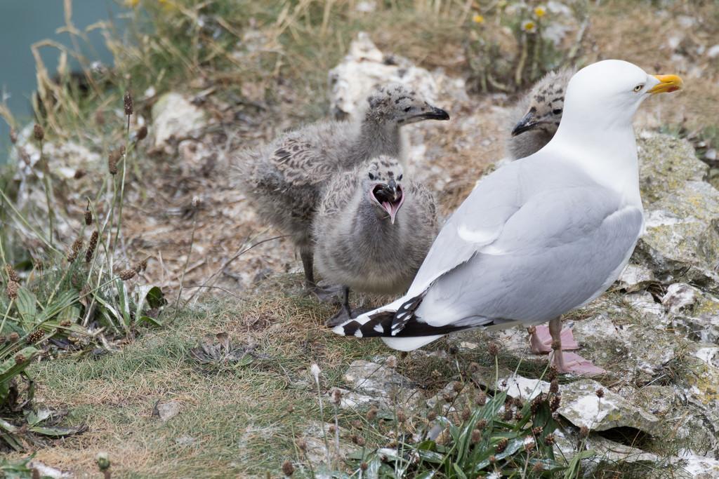 2017 07 04 - Herring Gull Family by pixiemac