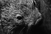 6th Jul 2017 - wombat
