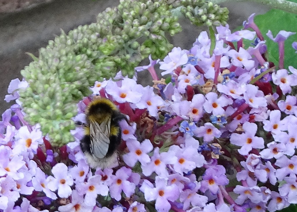 Buddleia, ,no butterlies but plenty of bumble bees ! by beryl