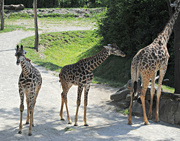 7th Jul 2017 - The Day Mama Giraffe Got a Complex: Mom, I'm As Big As Your Butt