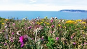 7th Jul 2017 - Cliff top flowers