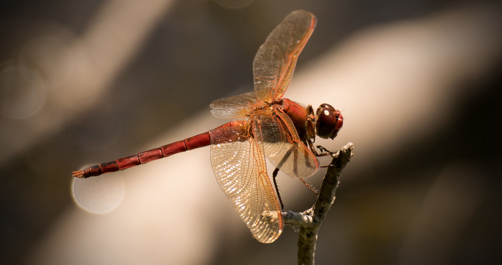Dragonfly on It's Parking Spot! by rickster549