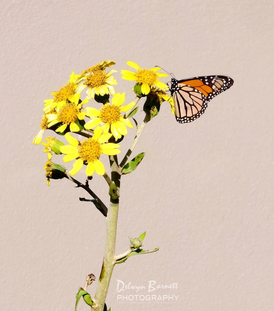 Monarch by dkbarnett